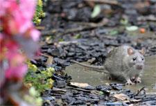 hoa-garden-rats.jpg