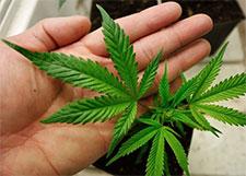 hoa-marijuana-plants